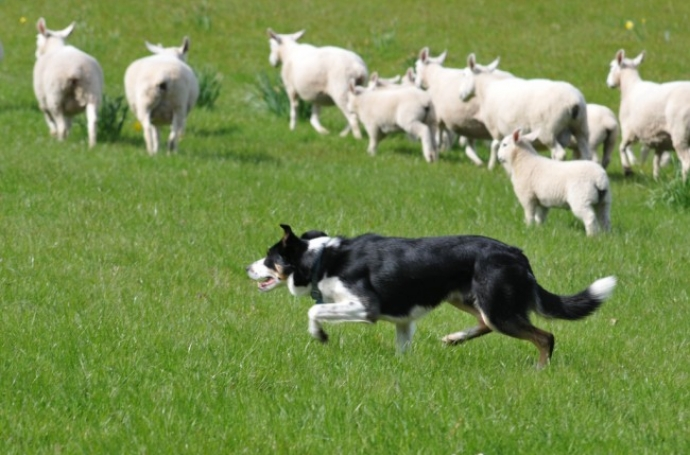 One for Parents: Shepherds not Sheepdogs image