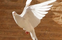 Why a Dove? image